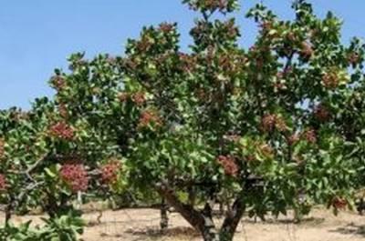 Καλλιέργεια φιστικιάς-Απαιτήσεις εδάφους
